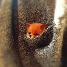 Fox in a pocket