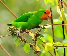 Red-headed-Lovebird-11.jpg (480×397)