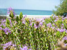 1000 Greek Thyme Seeds Thymus vulgaris L. Aromatic Heirloom Seeds from Crete  #1000GreekThymeSeedsThymusvulgarisL