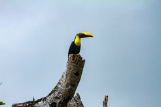 A Toucan on a tree on the road to Bahia Drake (which is one of the most amazing roads of Costa Rica. It lies on the Osa Peninsula. According to National Geographic is this one of the most biodiverse places in the world.  All photos taken by Harmen Piekema Photography (c)