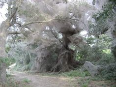 "This giant communal spider web was photographed in Texas and measured over one hundred and eight meters in length (more info). Entomologists think that it may be the results of socialization, with spiders deliberately building webs in unison that merge in to one giant net (for elephants possibly?). However, scientists have no real idea whether the spiders are working in a ""Borg"" like way or it is simply accidental."