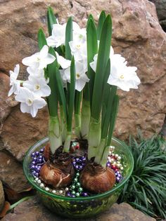 Paperwhite Narcissus can be made to bloom on shorter stems with a special alcohol and water mix. And Mardi Gras beads work just fine in place of gravel.