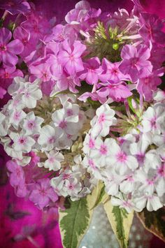 Three Dogs in a Garden: In Search of Late Bloomers, Part 1: Phlox