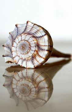 ~Male Welk S*H*E*L*L* the only Left Handed shell in America. Female Welks have a lighter color. Sea*shell with refLectiOn ~* Nautilus, Shell Art, Patterns In Nature, Ocean Life, Marine Life, Sea Creatures, Under The Sea, Starfish, Sea Glass