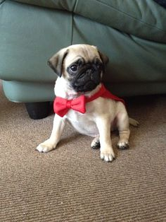 Soshi Is An Adoptable Pug Dog In Berkeley Ca Adopt Love
