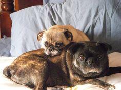 love old Pugs Funny Pugs, Cute Pugs, Pug Names, Old Pug, Fawn Pug, Black Pug, Pug Puppies, Pug Love, Cocker Spaniel
