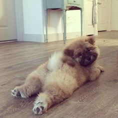 Best Images and Ideas about Chow Chow, The Oldest Dog Breed Die besten Bilder und Ideen zu Chow Chow, der ältesten Hunderasse Cute Baby Animals, Animals And Pets, Funny Animals, Cute Puppies, Cute Dogs, Corgi Puppies, Chow Chow Dogs, Fluffy Dogs, Old Dogs