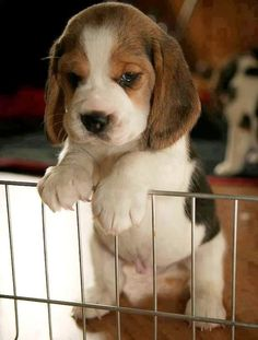 The MOST adorable beagle puppy you have ever seen in your life.