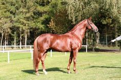 Londonerry – Hannoverian stallion of the year 2013 He impresses with…