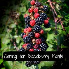 Learn how to care for blackberry plants! Blackberries ripening on the bush. Flickr image by Colin
