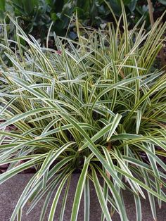 Liriope (liriope muscari variegata): This looks like it is Liriope. It will grow in shade to full sun. Easy grower and often used for border plantings. If we could see the flower, we could confirm. Some sedges (Carex) also look like this.