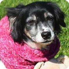 Huntley, IL - Border Collie/Australian Shepherd Mix. Meet Barbara, a dog for adoption. http://www.adoptapet.com/pet/18279640-huntley-illinois-border-collie-mix