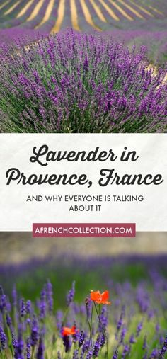 Lavender in Provence | A French Collection