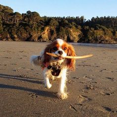 All the things we all adore about the Playfull Cavalier King Charles Spaniel Puppies Spaniel Breeds, Spaniel Puppies, Cocker Spaniel, Cavalier King Charles Dog, Cavalier King Spaniel, Dog Competitions, Puppy Mix, Cute Dogs, Dog Style