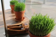 grow wheat grass with whole grain wheat (from the grocery store?)