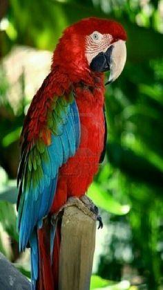 Guacamaya roja..Guacamaya roja....  Es una representación del dios maya Vucub-Caquix, la cual se ha cotizado tanto por la belleza de sus colores. Es una de las dos especies de guacamayas que se encuentran en México, principalmente en los estados de Tamaulipas, Veracruz, Oaxaca, Tabasco y Campeche.  Su principal población habita en las selvas húmedas de Chiapas. Sólo hay entre 20 000 y 50 000 ejemplares.