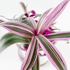 14 Pink Indoor House Plants for Valentine's Day Gifts : 14 Pink Indoor House Plants for Valentine's Day Gifts – JayDee Mahs