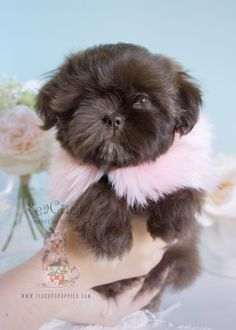 Chocolate Shih Tzu Puppies Davie | Teacups, Puppies & Boutique #shihtzu