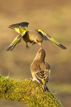 greenfinches greeting so sweet~~