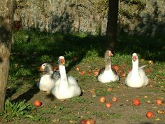 Geese in orchard