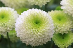 November's birth flower is Chrysanthemum, which represents compassion, friendship, cheerfulness and love.
