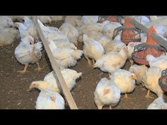 Georgia is the nation's leading poultry-producing state, and the state's poultry industry takes the avian influenza threat very seriously.  During the recent Georgia Farm Bureau annual convention, the Monitor's Damon Jones spoke with industry and state officials about the threat and their preparations for an occurrence.