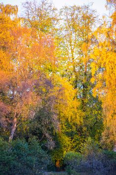 Autumn Trees 2. More beautiful Autumn colour from Maxwell Park, Pollockshields, GLASGOW, SCOTLAND