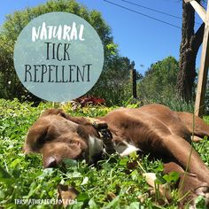 Ticks aren& just annoying, they can be dangerous. This is how we protect our dog (and ourselves) without chemicals. Here is our natural tick repellent. Homemade Tick Repellent, Tick Repellent For Dogs, Natural Tick Repellent, Tick Repellant, Homemade Flea Spray, Homemade Dog, Get Rid Of Ticks, Essential Oils For Fleas, Coconut Oil For Fleas