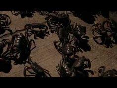 Un grupo de cangrejos negros.