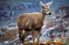 Great news for the Conservation of the Huemul or Southern Andean Deer (Hippocamelus bisulcus) in Aysen, Chilean Patagonia [In Spanish]