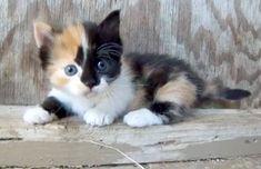 Munchkin Cats and Kittens | Munchkin Cat & Kitten Classifieds - Free Classifieds - USFreeads