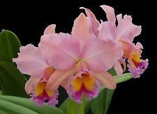 George King 'Serendipity' AM/AOS Collectors item! All Plants, Indoor Plants, Exotic Flowers, Beautiful Flowers, Orquideas Cymbidium, Cattleya Orchid, Garden Cart, Blooming Plants, Types Of Flowers