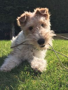 Pip - making mischief in the garden! Fox Terriers, Wirehaired Fox Terrier, Welsh Terrier, Wire Fox Terrier, Cute Puppies, Cute Dogs, Dogs And Puppies, Doggies, Wire Haired Terrier