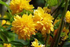 Zázrak proti celulitidě roste nejspíš i na vaší zahrádce   Naše zahrada Yellow Spring Flowers, Black Flowers, Petunias, Rosa China, Parts Of A Flower, Yellow Springs, Flower Artwork, Plantar, Modern Artwork