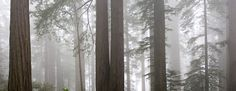Forest and fog (California Redwoods)