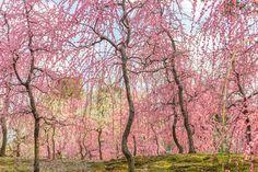 Showers of Blooms by Eiichi Shirakawa on 500px