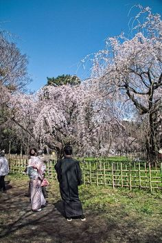 Sakura at the Kyoto