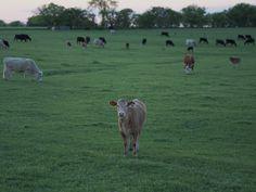 VSCO - #appsforearth #wwf #cow #texas  | shawnroller