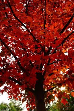 Red Maple - my love of trees may've started w/ a maple in our yard as a kid; I climbed it everyday.. sitting so high up - it was my special haven.