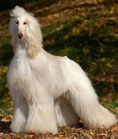 What a great looking afghan hound