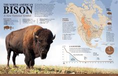 After reading about the American Bison soon to be noted as a U. national symbol, I was inspired to create this graphic about these magnificent beasts. Site Analysis Architecture, Magnificent Beasts, American Bison, National Symbols, Scientific American, Mascot Design, Wildlife Conservation, Field Guide, Sea World