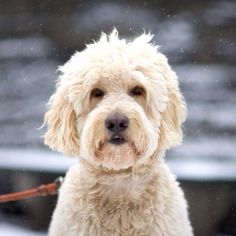 Brody, Goldendoodle, Central Park East
