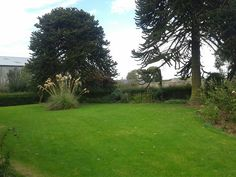Right hand monkey puzzle tree before removal