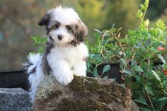 An old breed, the Havanese is really a descendent of breeds brought to Cuba from Spain and could also be connected to the Tenerife, an ancestor in the entire Bichon loved ones. Bichon Havanais, Havanese Puppies, Cute Puppies, Dogs And Puppies, Poodle Puppies, Retriever Puppies, Maltipoo, Animals And Pets, Baby Animals