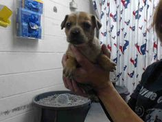 This DOG - ID#A468956 - URGENT - Harris County Animal Shelter in Houston, Texas - ADOPT OR FOSTER - 6 WEEK OLD Female Chihuahua/Dachshund Mix - at the shelter since Sep 23, 2016.