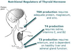 images tyrosine and thyroid | Weight Loss Nutritional Regulation Thyroid Hormones Iodine Potassium ...