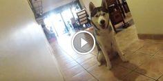 Husky Shows Off Some Ninja Skills To Secretly Get His Treat A Husky, Hilarious, Youtubers, Ninja, Dogs, Animals, Life, Animales, Animaux