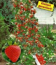 1aqualitat Gold Kaufen Melonenbirne Sugar Melonenbirne Sugar Gold 1a Qualitat Kaufen Kletter Erdbeere Hu Growing Strawberries Strawberry Growing