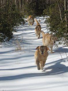 Four Golden Retrievers on a winter hike.