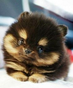 Aww, its a puppy that looks like a bear, lol.